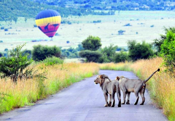 lions-balloon-pilanesberg